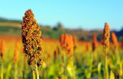 Invitation to host the Global Sorghum Conference in 2022 or 2023